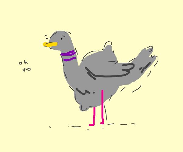 PIGEON SWALLOWS A LEMON WHOLE