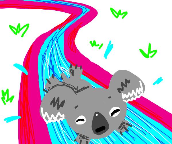 Koala on a water slide!