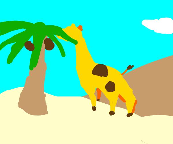 Giraffe finds a coconut tree
