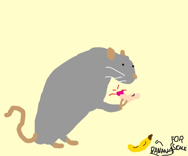 biggest rat eats severed human foot