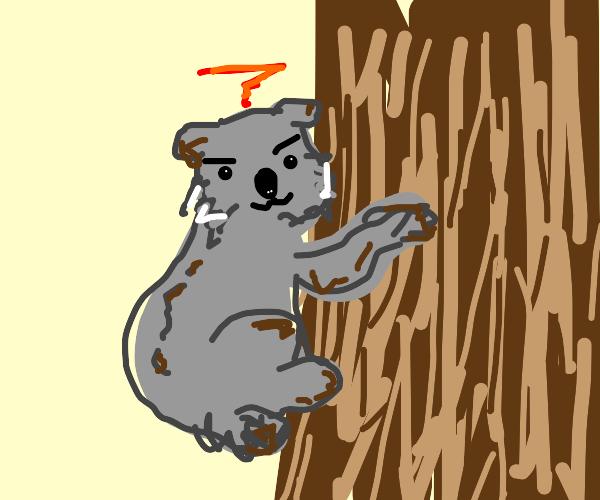 Smug koala climbs tree