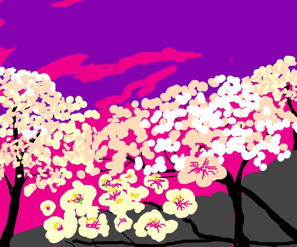 Sunset over Cherry Blossom trees