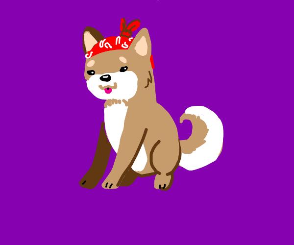 shiba with a bandanna