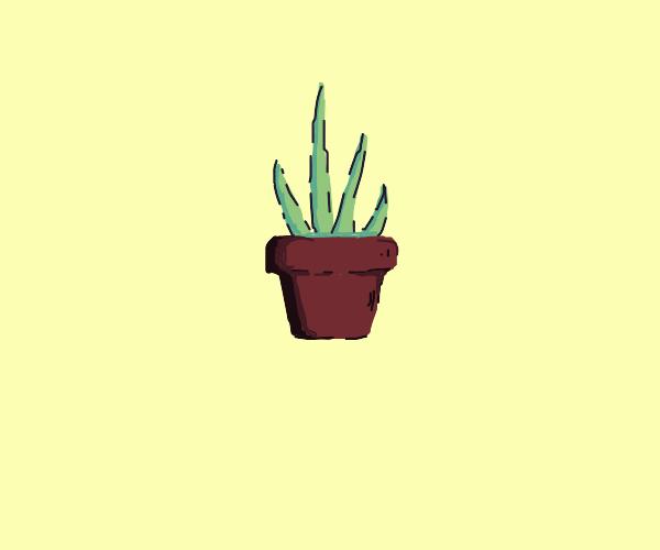 an Aloe Plant