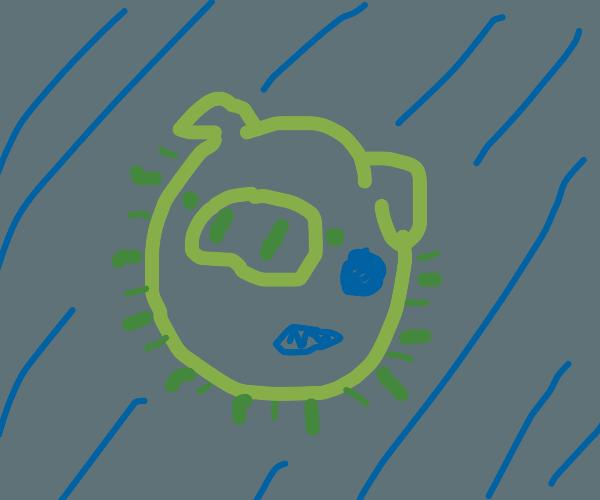 Pig bacteria