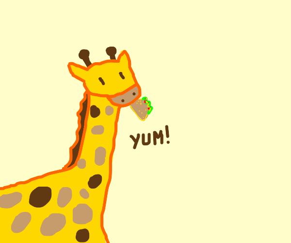 Giraffe eating a taco