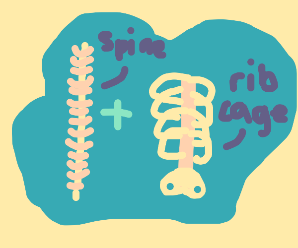 Spine and ribcage
