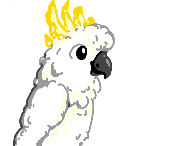 The fluffiest cockatoo ever