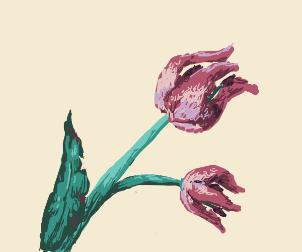 a dead tulip