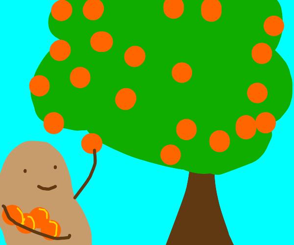 A potato happily picking oranges