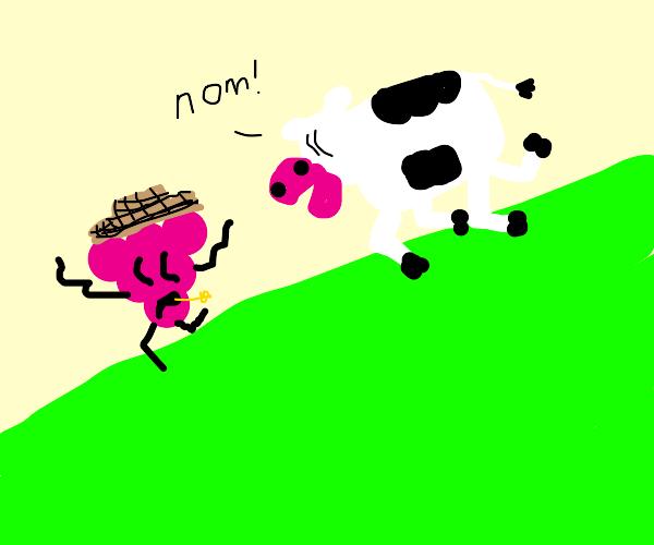 A raspberry farmer feeding cows