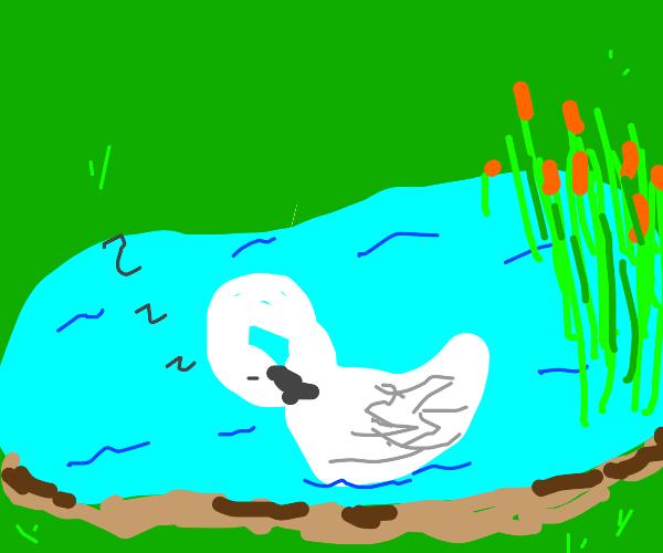 swan sleeping in pond