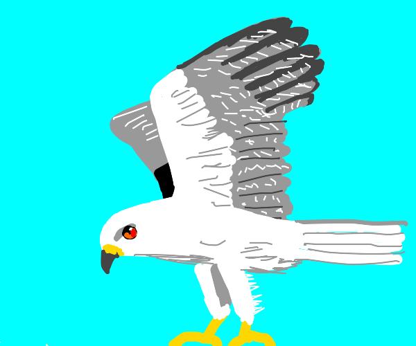 A white tailed kite (bird)