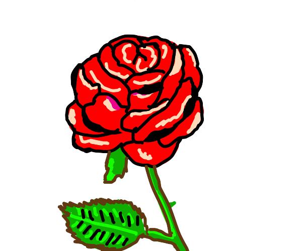 rose in full bloom