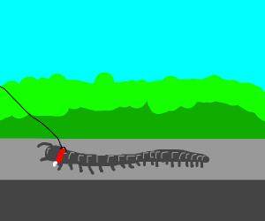 Walking a long gray centipede
