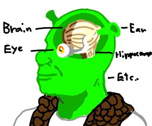 Shrek brain, viewed from side