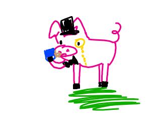 Fancy pig has tea