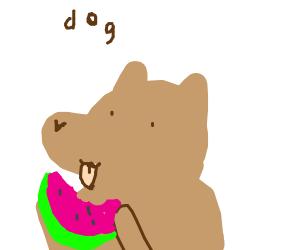 Cute brown dog eating watermelon