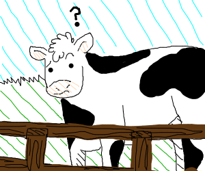 cow is confused by fence