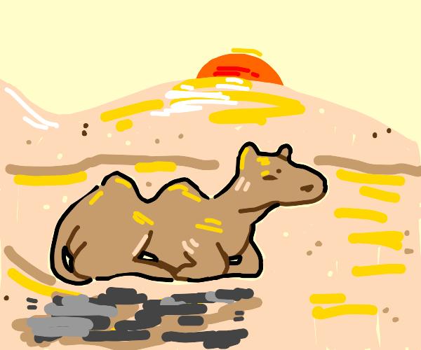 Camel resting in the desert.