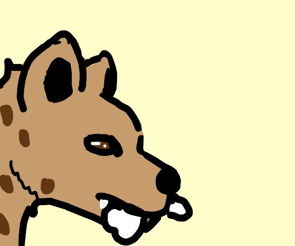 Hyena has a bone