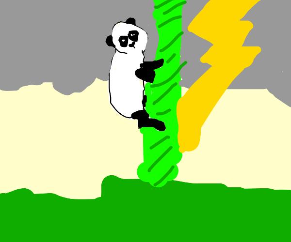 Baby Panda climbing bamboo hit by lightning