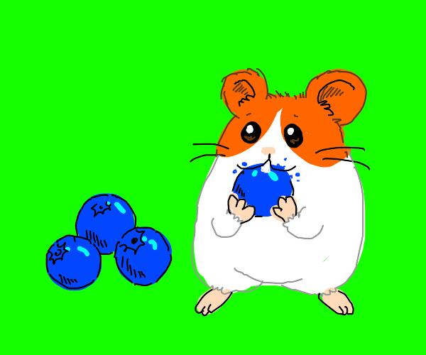 hamster loves blueberries