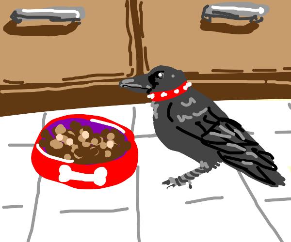 Pet crow eating dog food