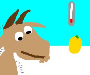 shivering goat stares at lemon
