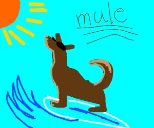 Mule Surfing