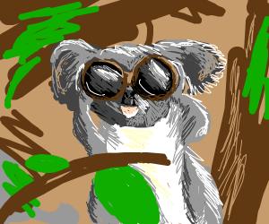 Koala looking through binoculars