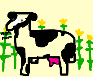 Cow eating Corn