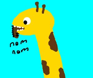 Giraffe eating a boot