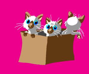 Box of Siamese kittens