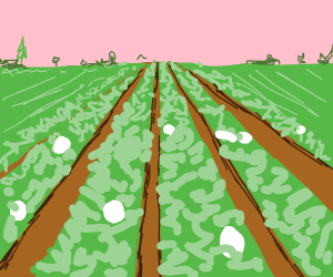 Cauliflower farm