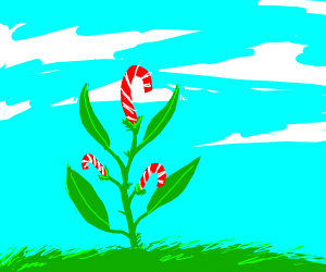 Candy Cane Plant.