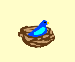A bluebird in a nest.