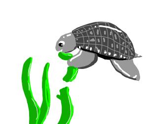 grey turtle eating seaweed