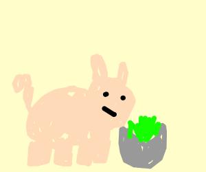 Pig eating Lettuce