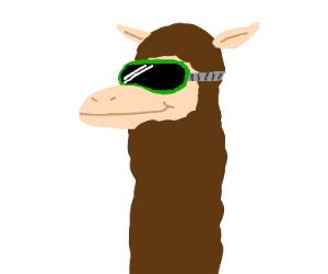 Llama wearing goggles
