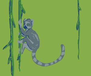 Lemur climbing some vines