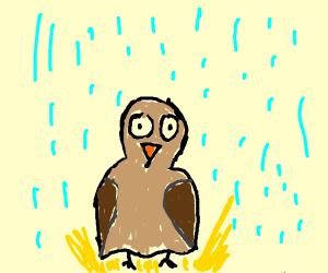 baby owl in the rain