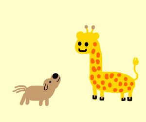 A dog looking up at giraffe