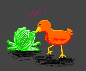 Bird eating lettuce