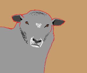 Carnivorous sheep