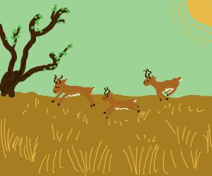 Impalas on the savannah