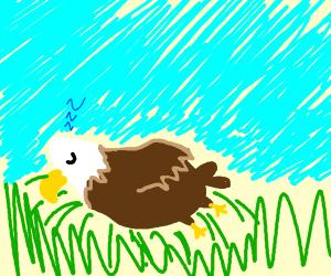 Bald eagle taking a nap
