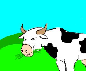 Suspicious Cow