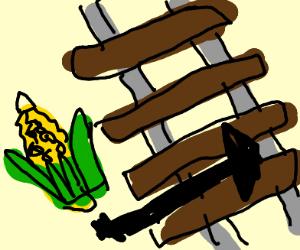 Corn crossing the Tracks