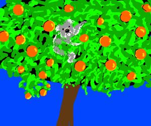 Koala climbs orange tree